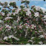 Pommiers en fleurs Ferme Gaston Drouin