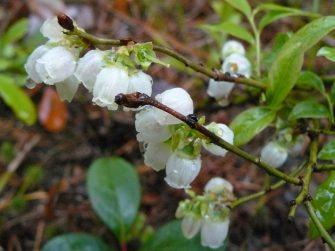 Crédit photo: Flore du Québec